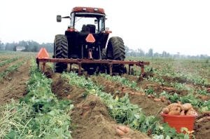 In harvest ...  sc 1 st  North Carolina Sweet Potato Commission & Cultivating and Harvesting | North Carolina Sweet Potatoes